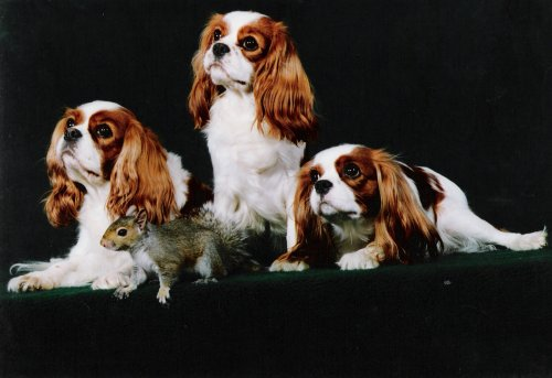 3 Cavaliers with squirrel