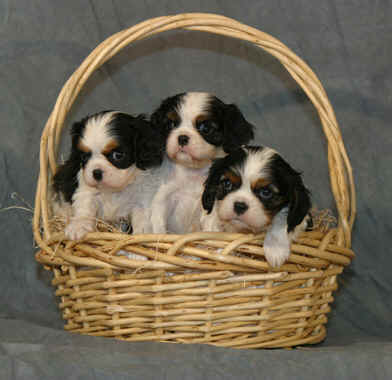 Chadwick 3 tricolor pups in basket