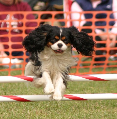 McCallum agility photo