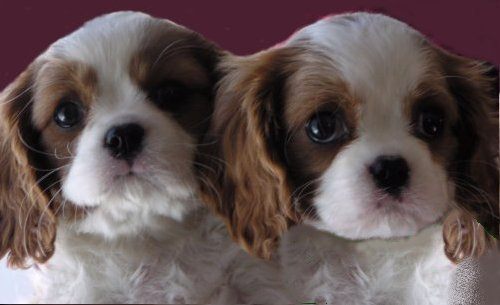 two blenheim pups with purple background